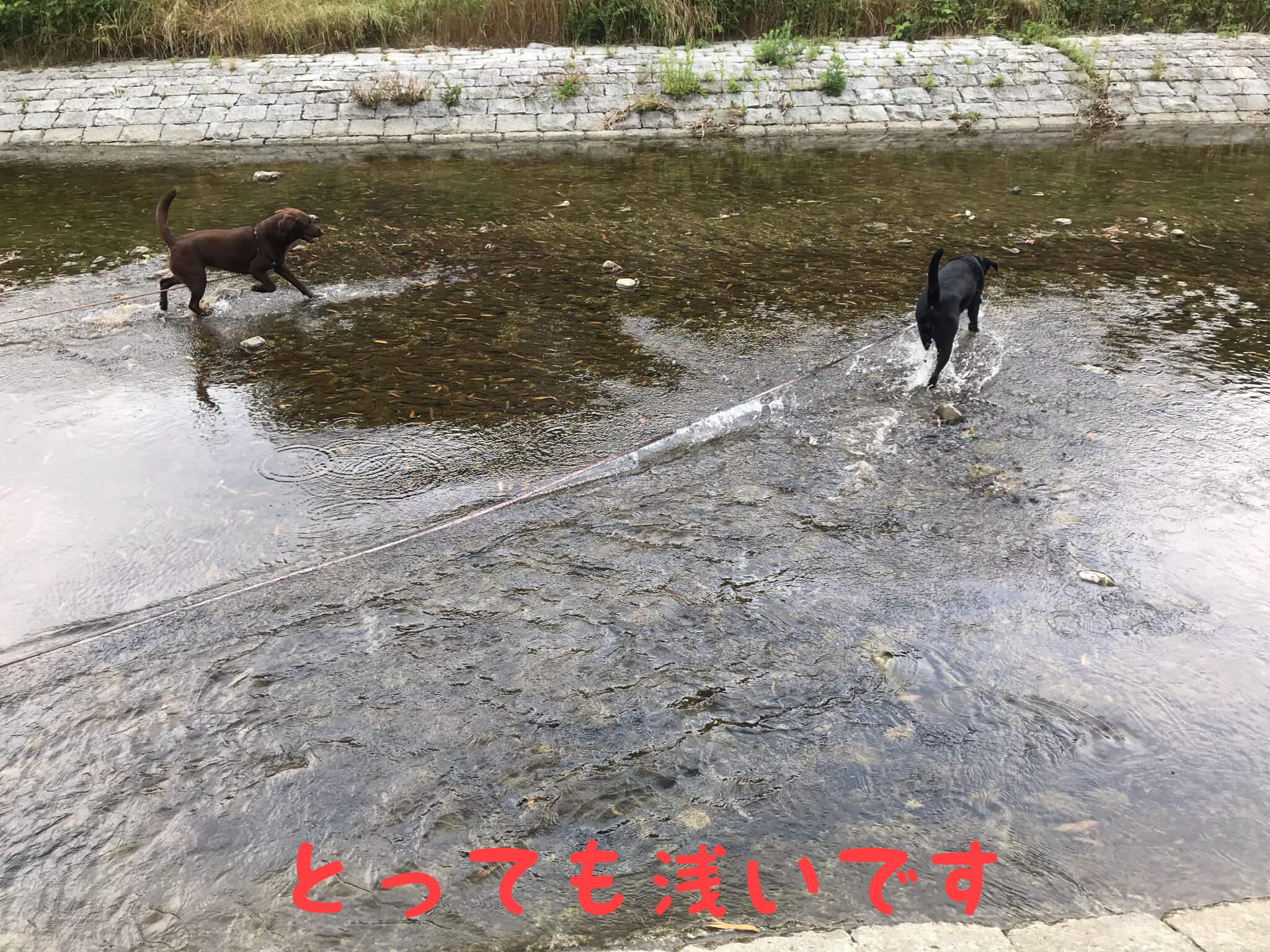 とっても浅いです 川遊びをするラブラドールレトリバー