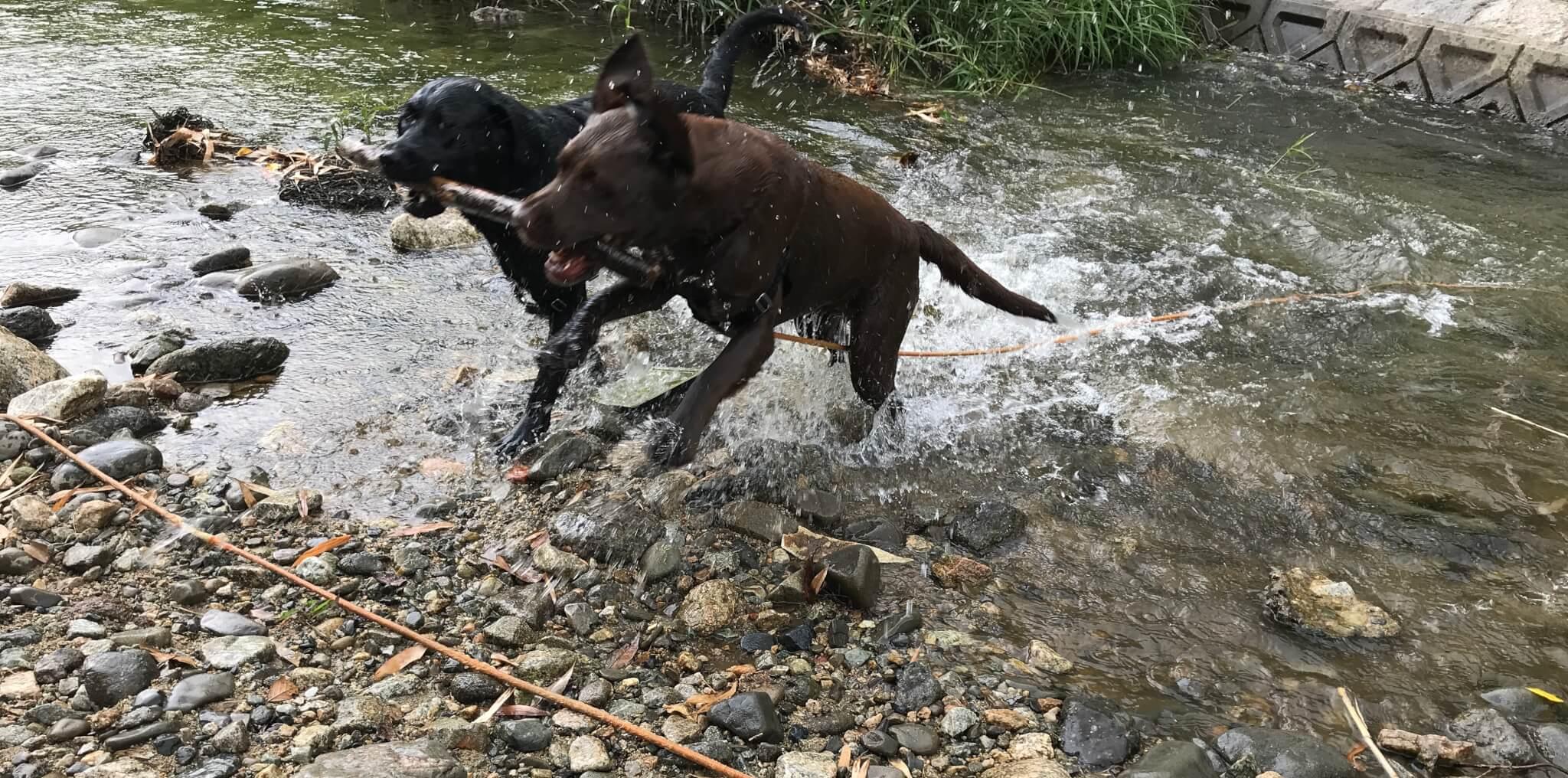 くろまろの郷 犬 川遊び ラブラドールレトリバー