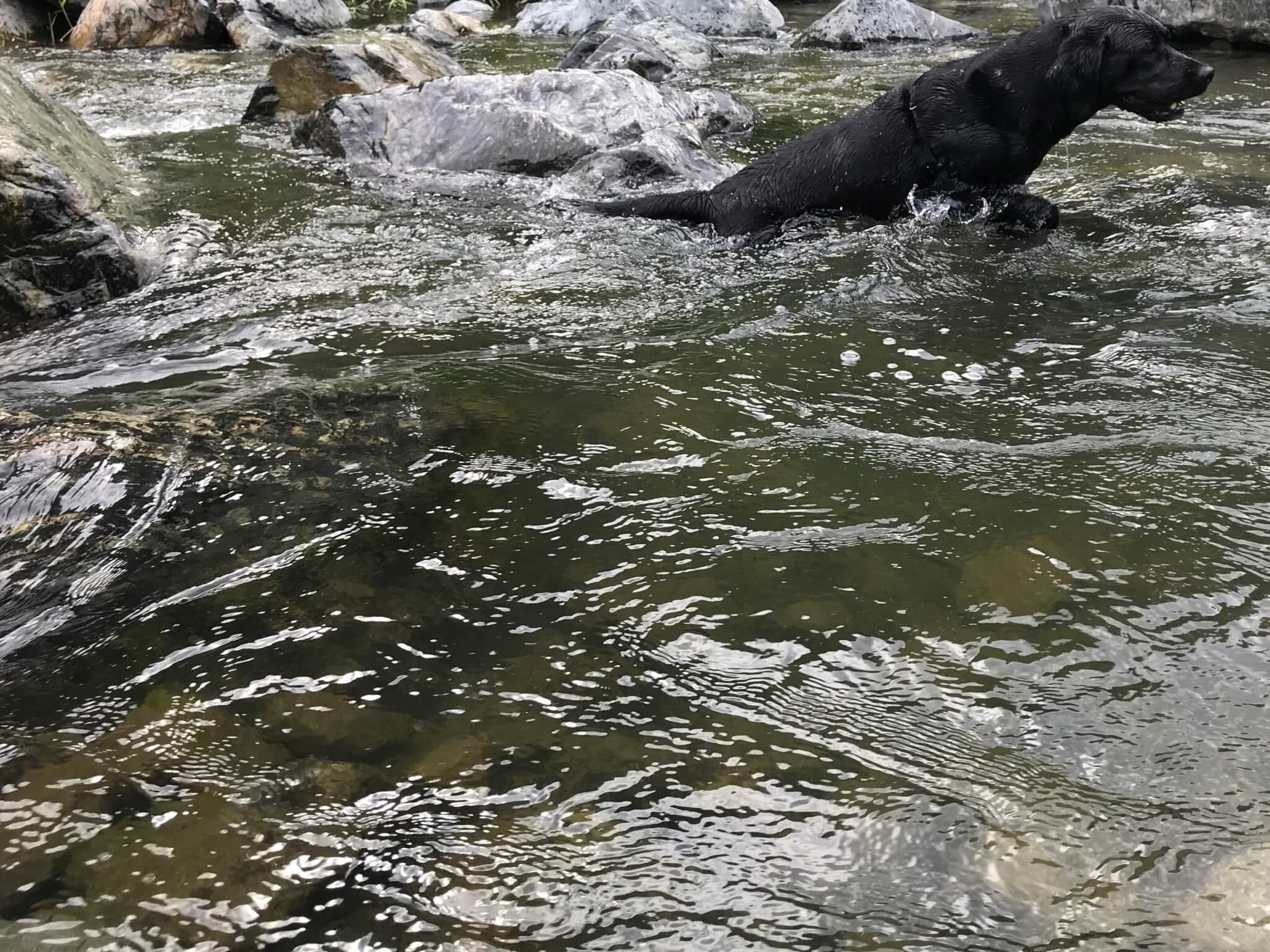 摂津峡公園 犬 川遊び 芥川 ラブラドールレトリバー