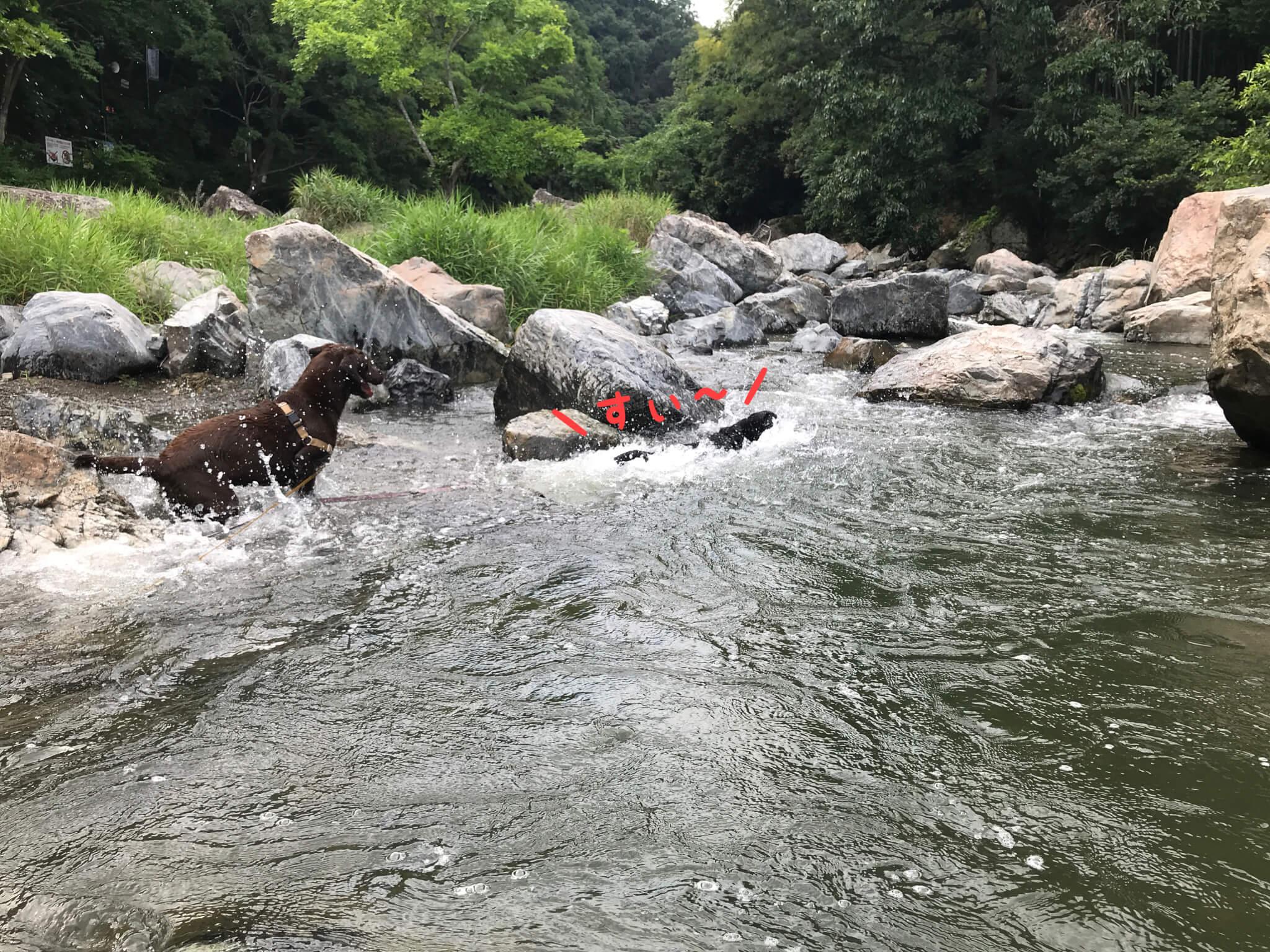 摂津峡公園 犬 川遊び 芥川 ラブラドールレトリバー 泳ぐ犬 \すぃー/