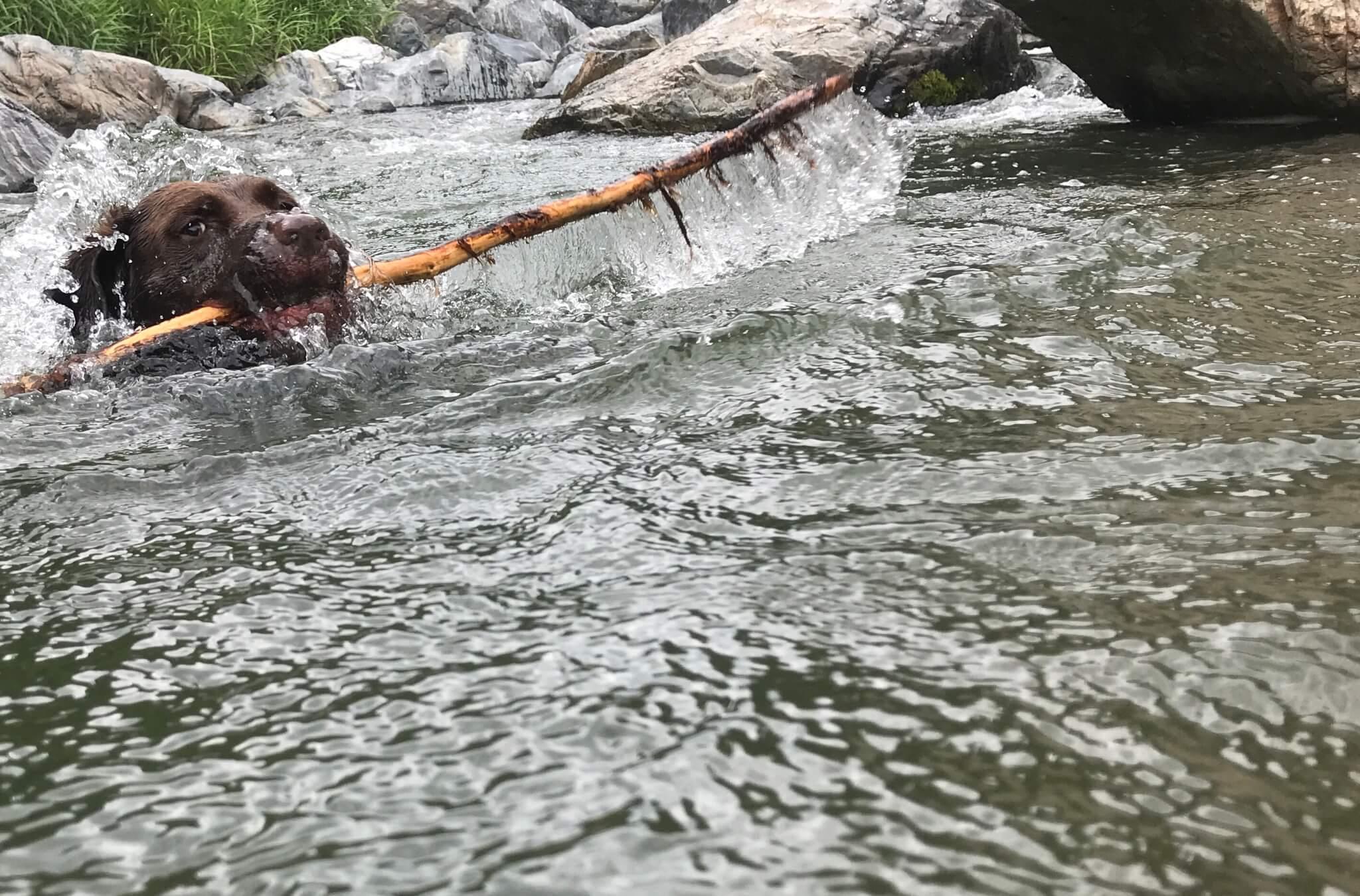 摂津峡公園 犬 川遊び 芥川 ラブラドールレトリバー 木を咥える犬