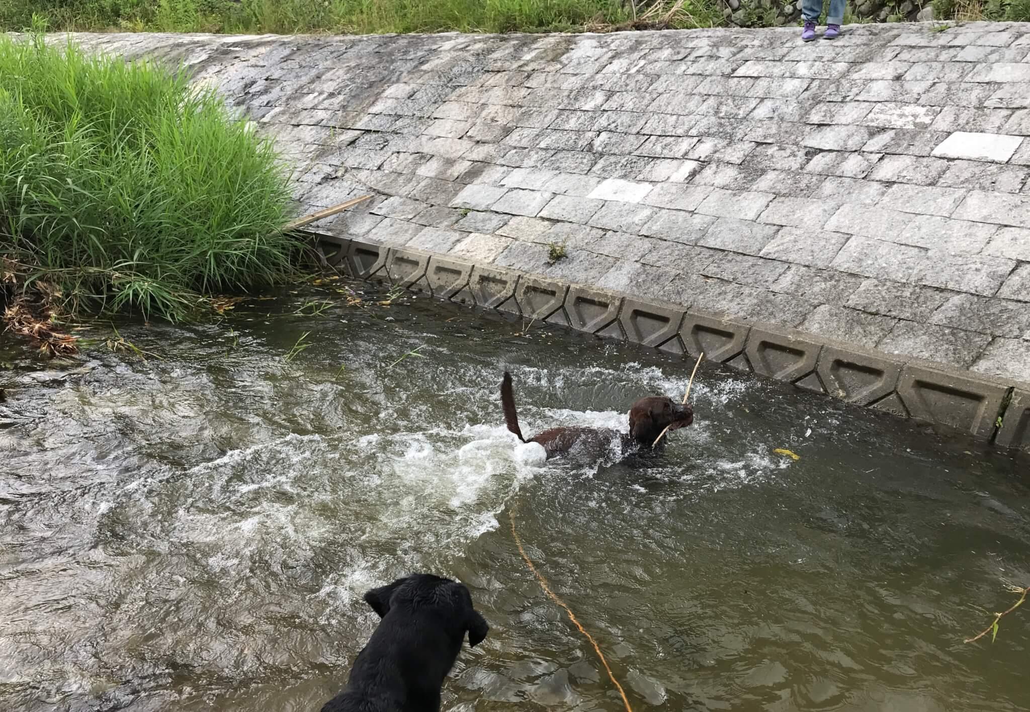 くろまろの郷 犬と川遊び ラブラドールレトリバー