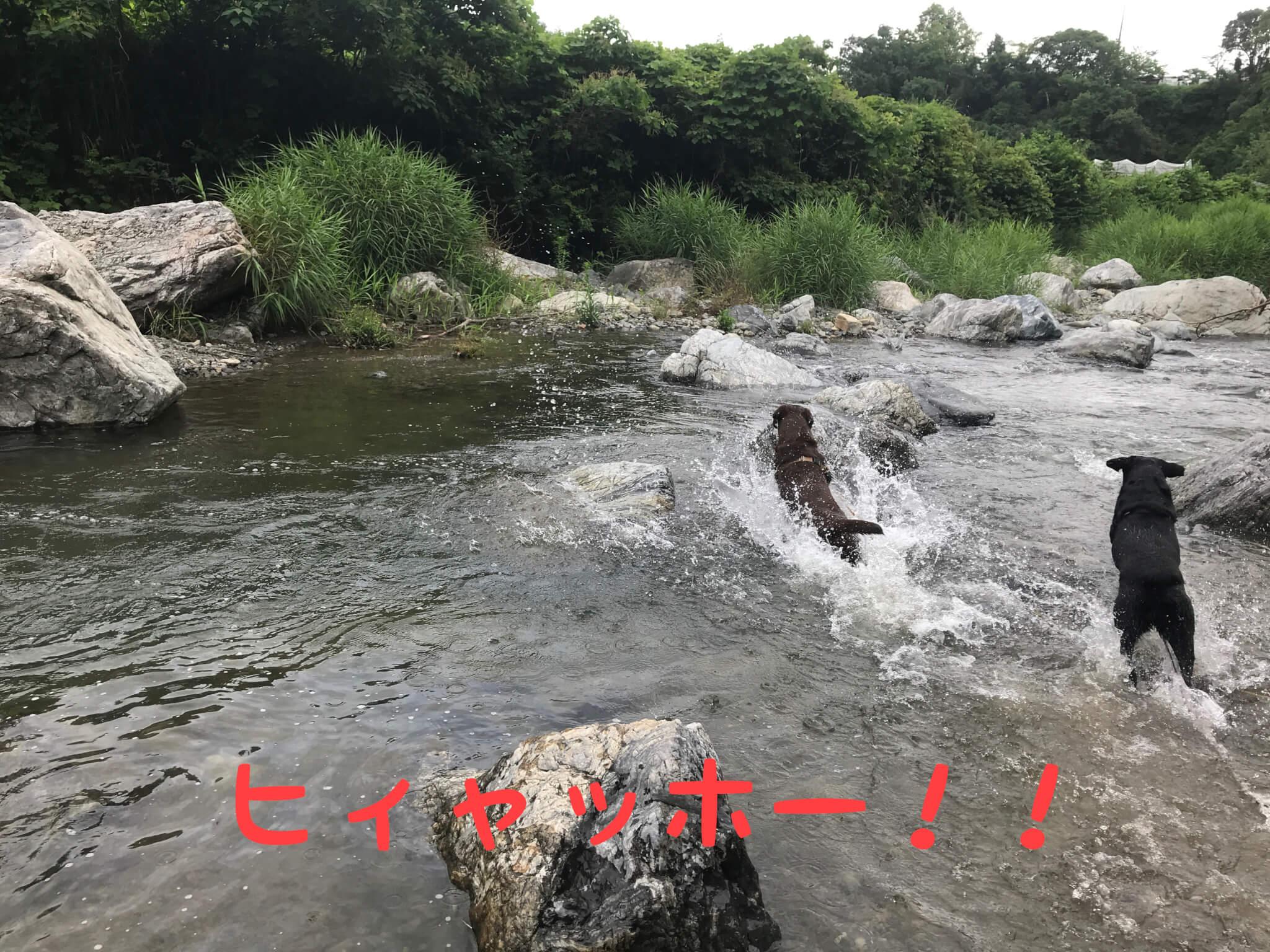 摂津峡公園 川遊び 芥川 ラブラドールレトリバー ヒィャッホー