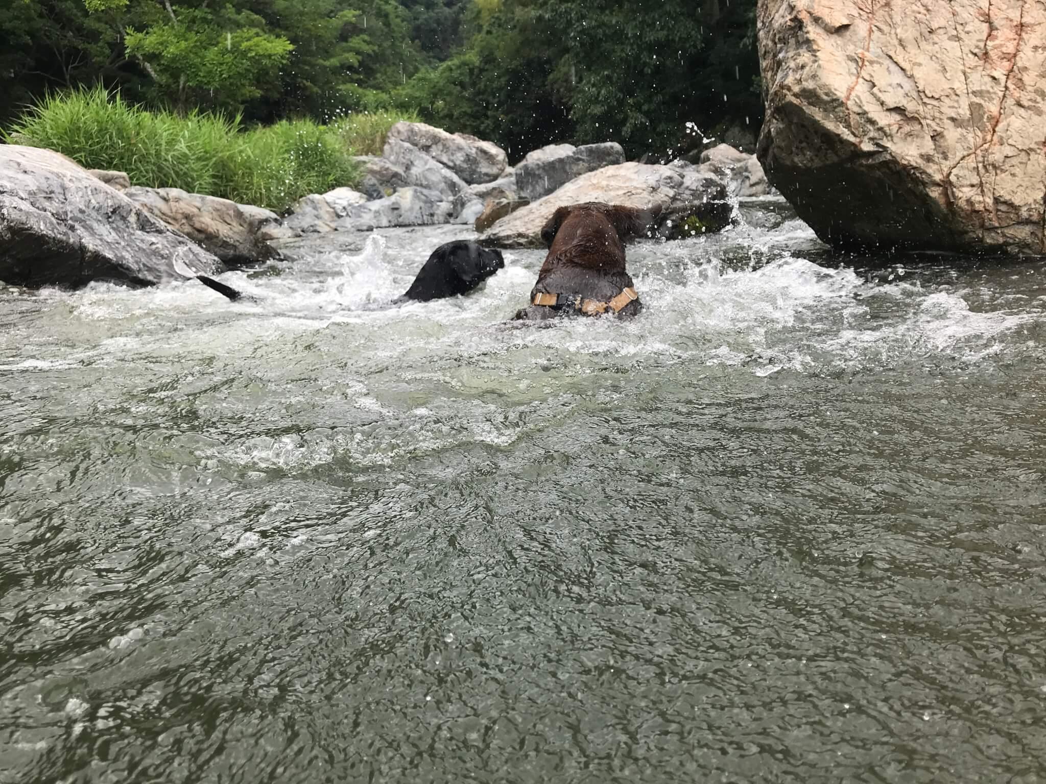 摂津峡公園 犬 川遊び 芥川 ラブラドールレトリバー 泳ぐ犬