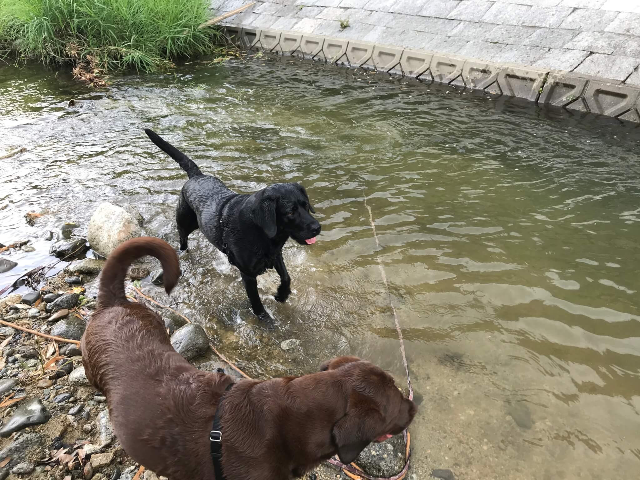 くろまろの郷 犬と一緒に川遊び ラブラドールレトリバー