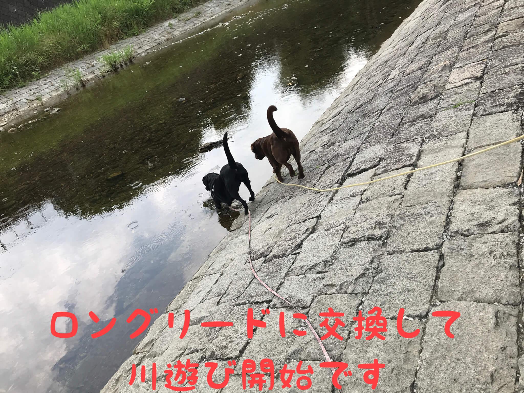 ロングリードに交換して川遊び開始です。くろまろの郷で犬と一緒に川遊び ラブラドールレトリバー