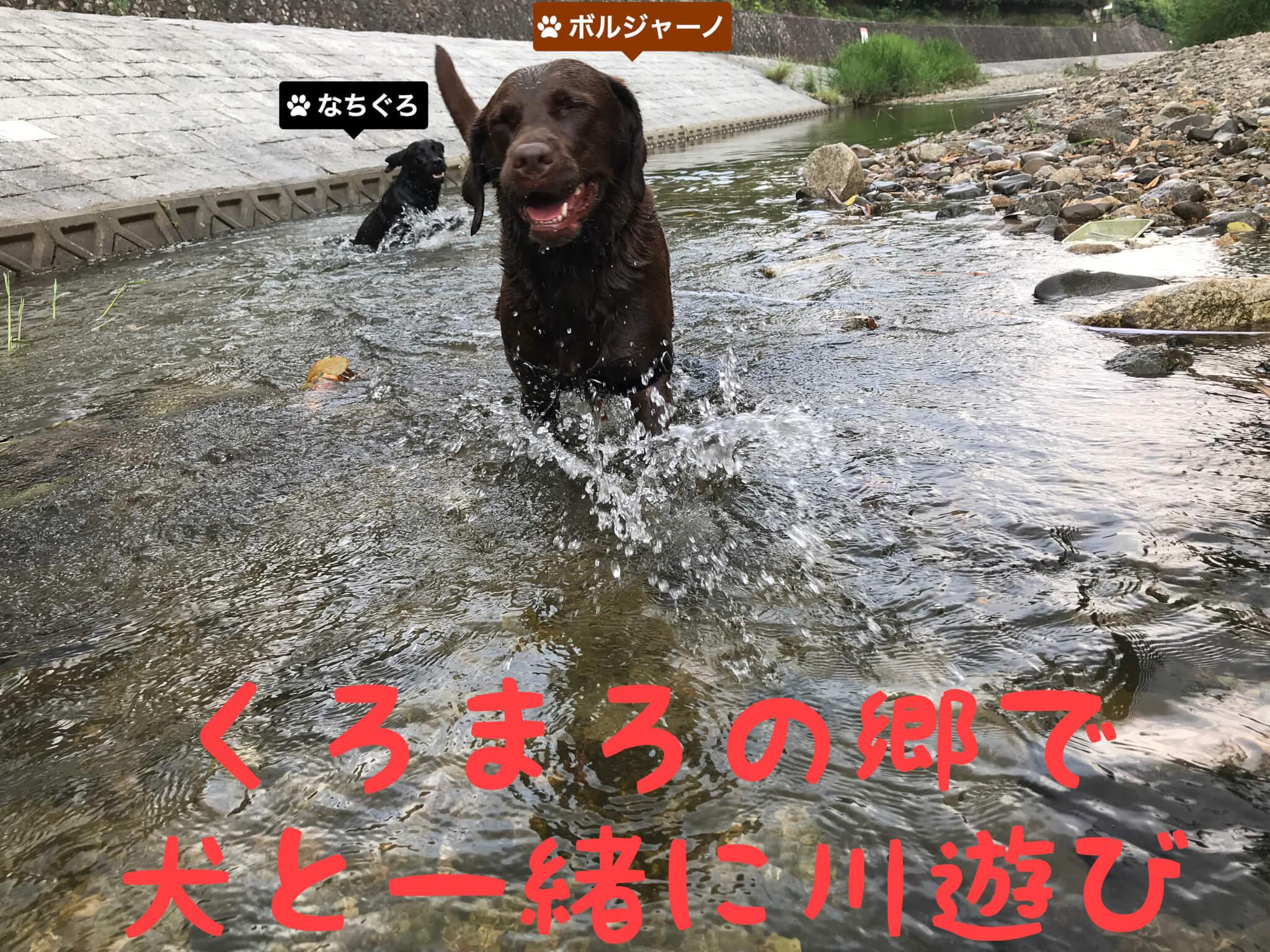 くろまろの郷で犬と一緒に川遊び ラブラドールレトリバー ボルジャーノ なちぐろ