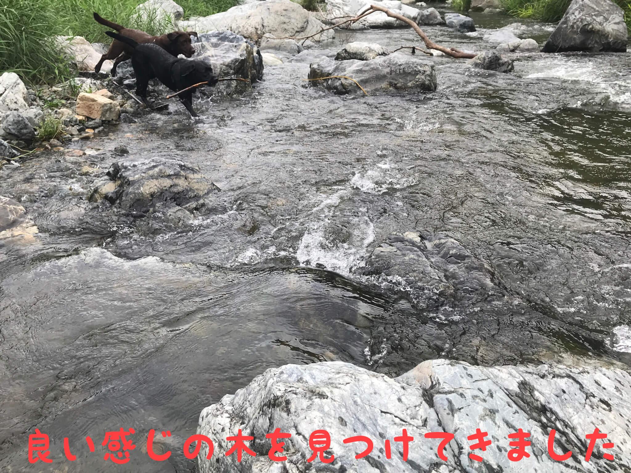 摂津峡公園 犬 川遊び 芥川 ラブラドールレトリバー 良い感じの木を見つけてきました