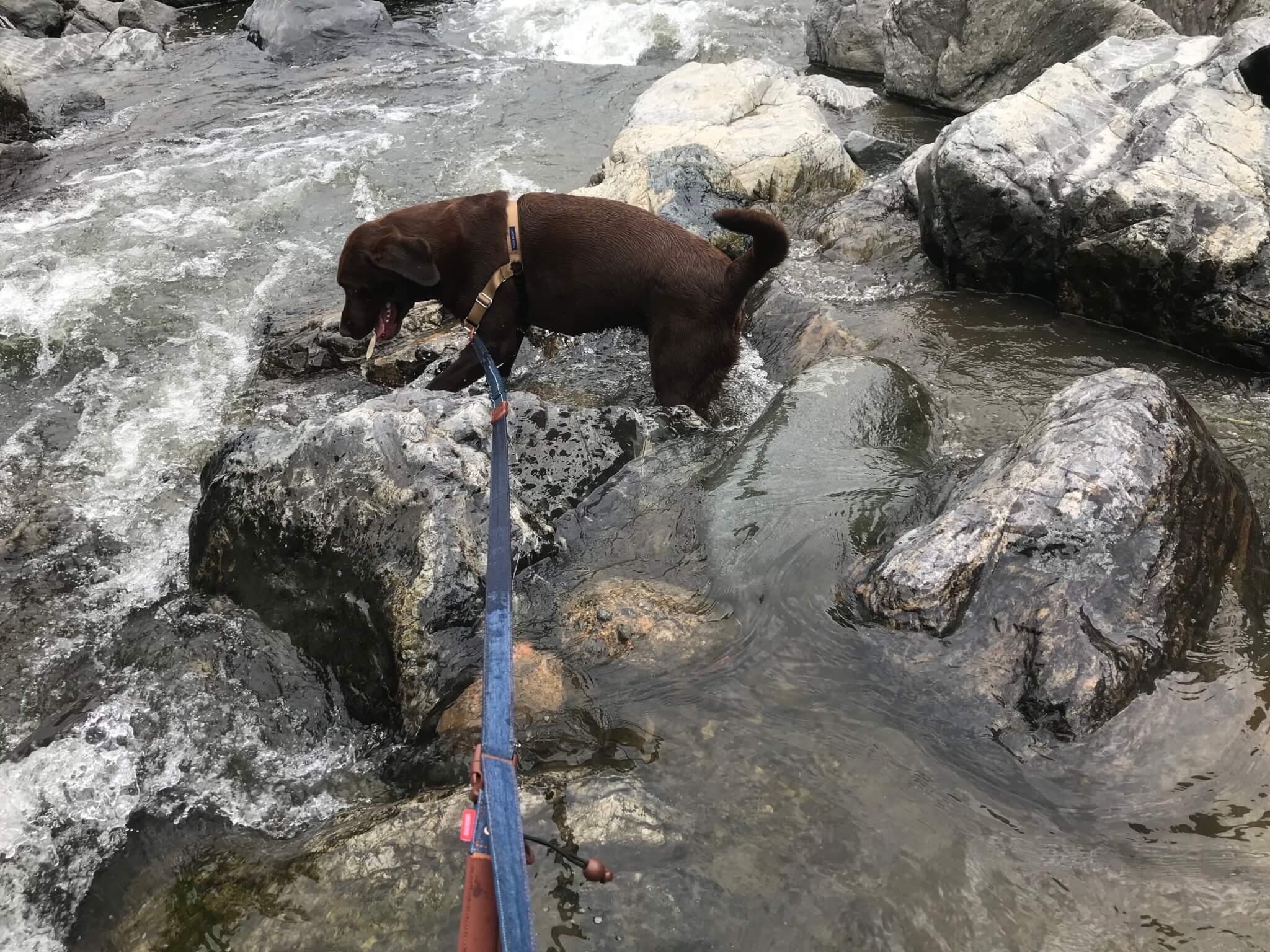 摂津峡公園 川遊び 芥川 ラブラドールレトリバー