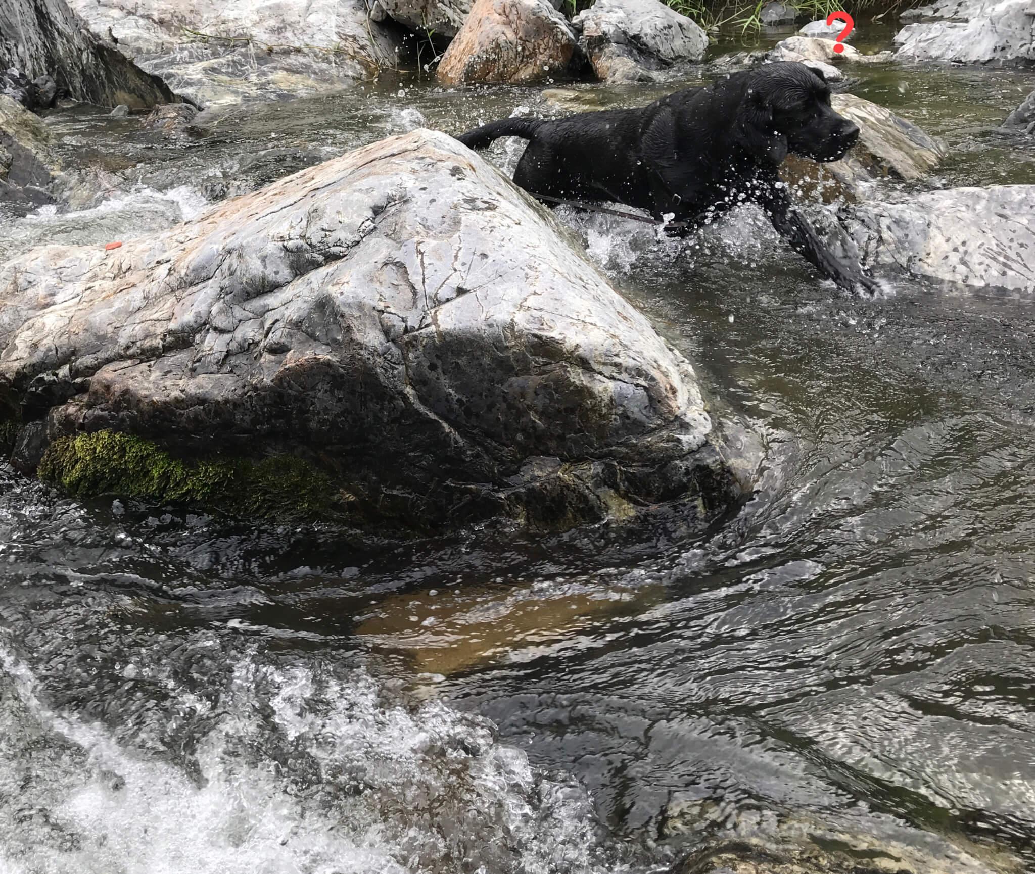摂津峡公園 犬 川遊び 芥川 ラブラドールレトリバー ?