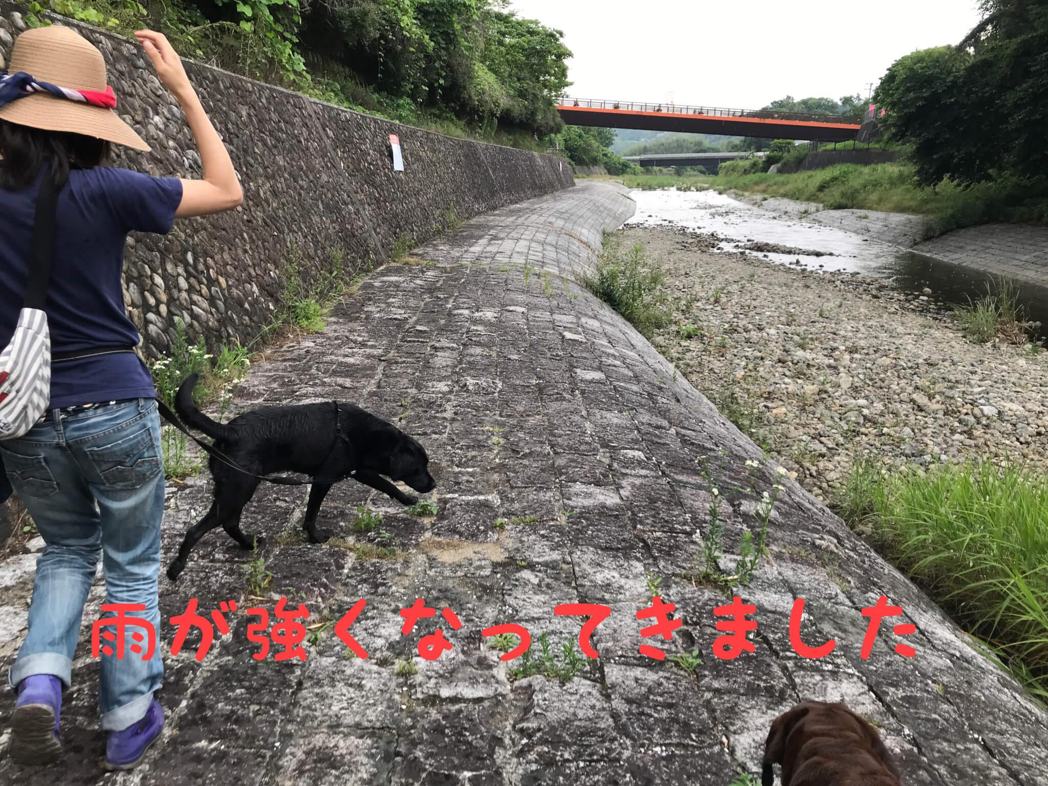 雨が強くなってきた くろまろの郷 犬と川遊び ラブラドールレトリバー