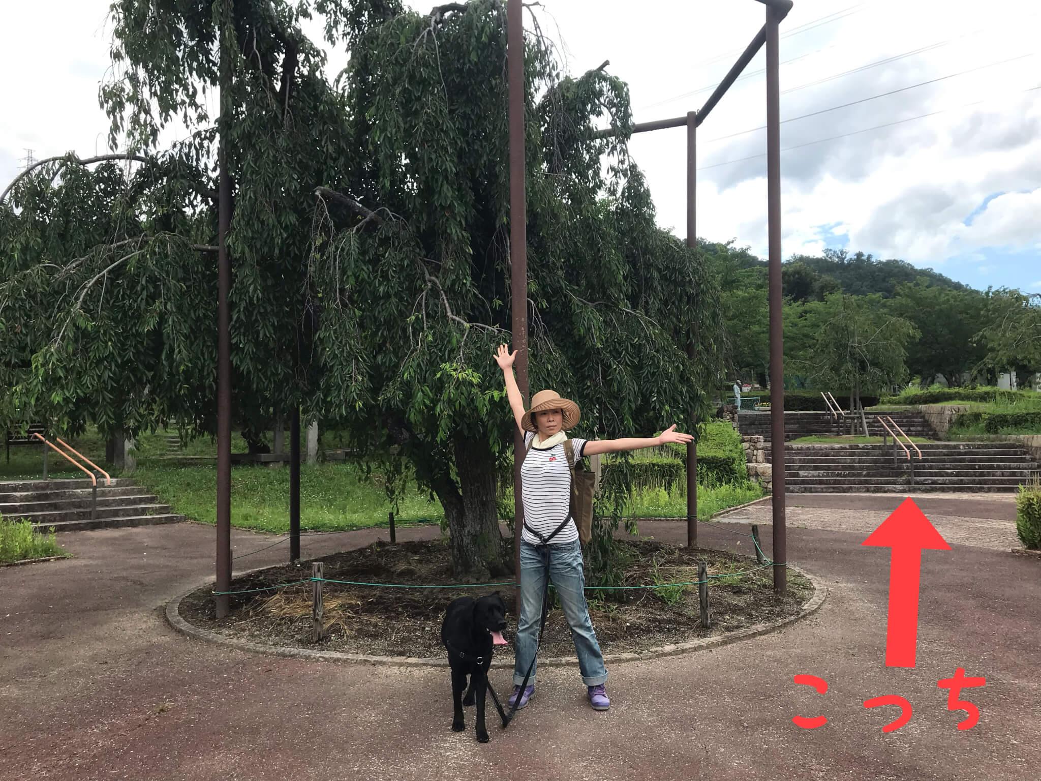 摂津峡公園 桜広場 ラブラドールレトリバー こっち 枝垂れ桜