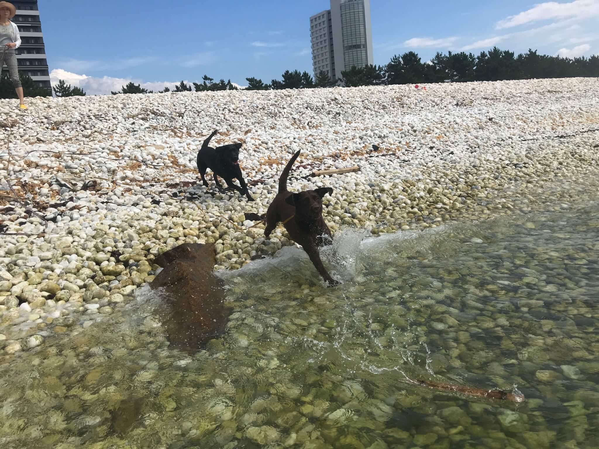 マーブルビーチ 海で遊ぶラブラドールレトリバー