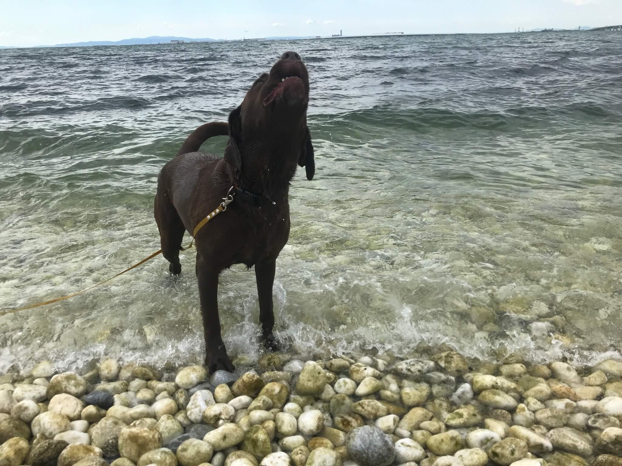 マーブルビーチ ラブラドールレトリバー