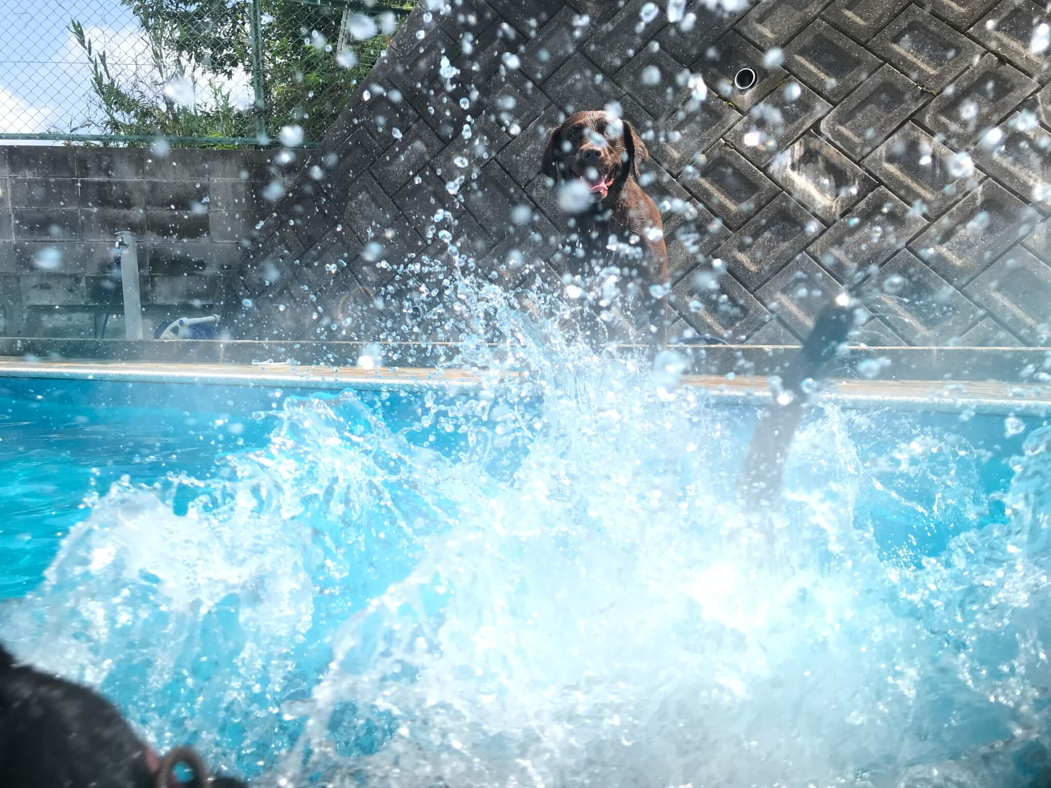 プールに飛び込むラブラドールレトリバー