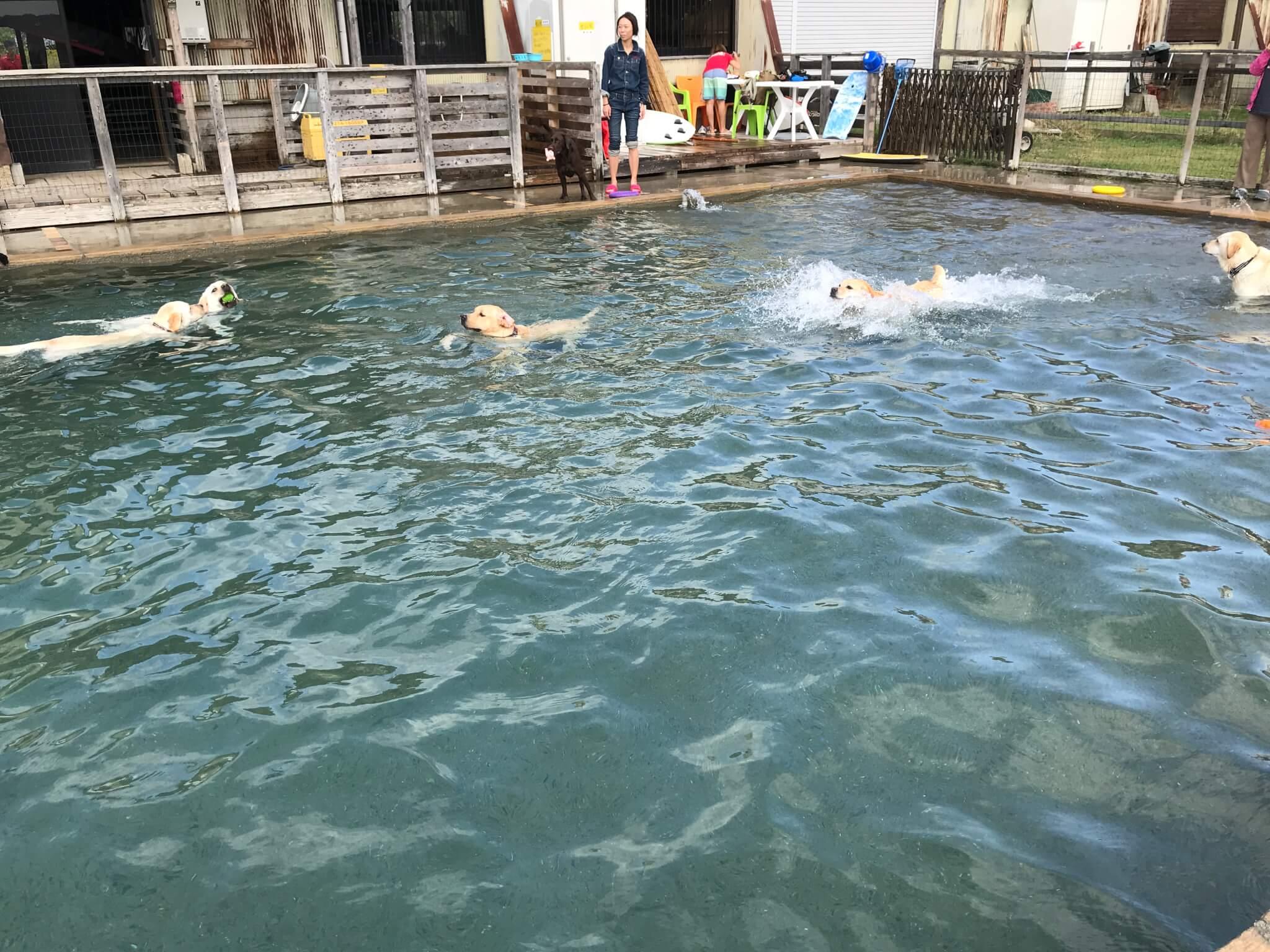 加西ドッグガーデン 犬のプール ラブラドールレトリバー