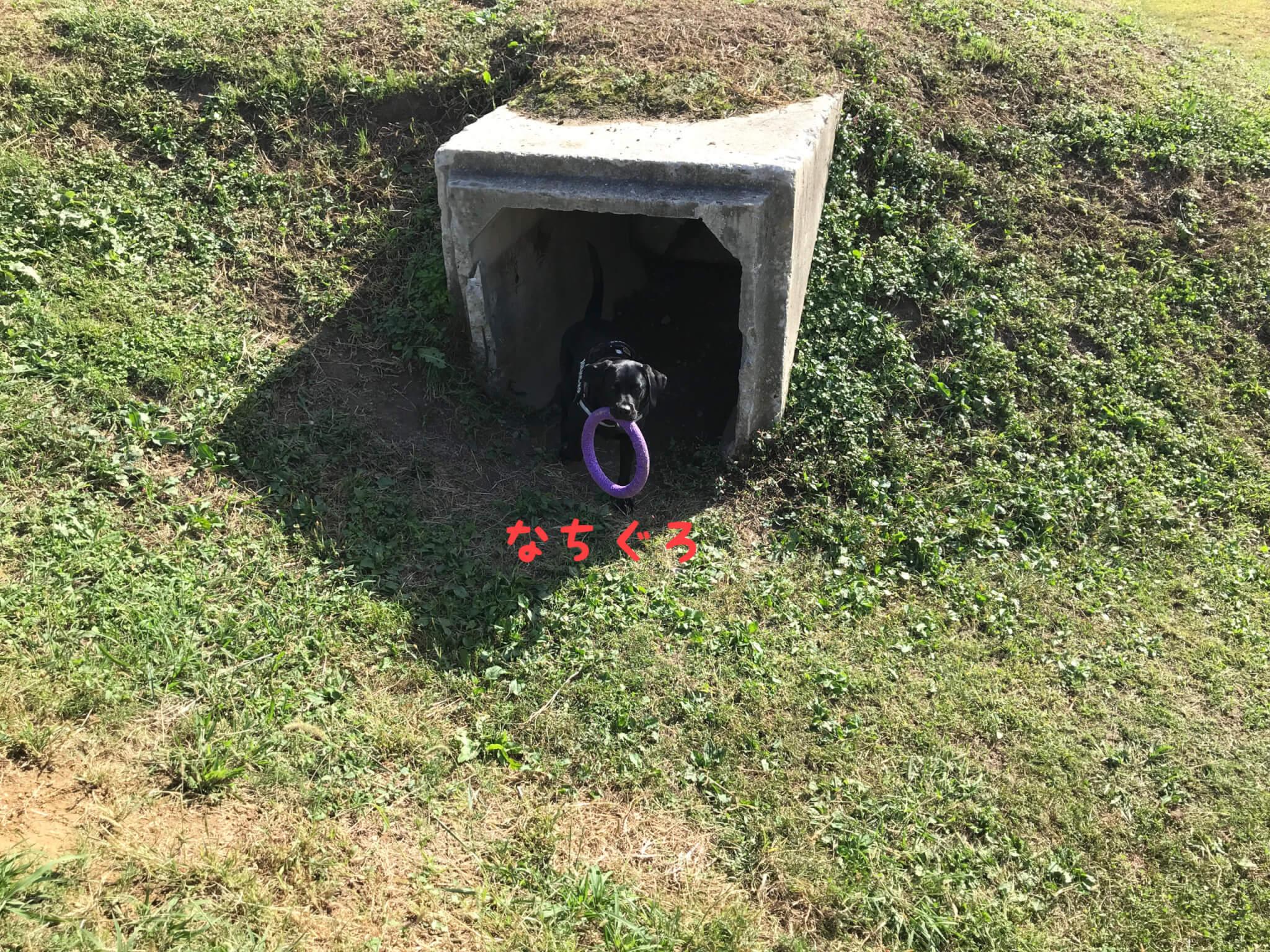 加西ドッグガーデン ドッグラン トンネル ラブラドールレトリバー なちぐろ